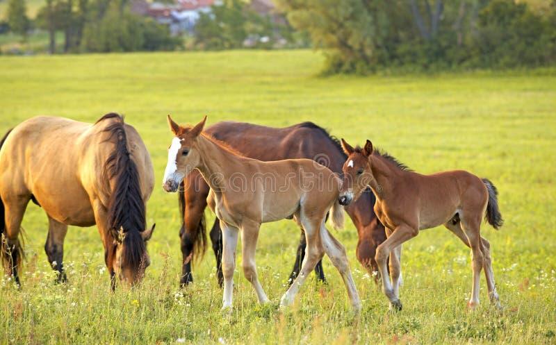 Piccolo foals con le madri sul campo fotografia stock