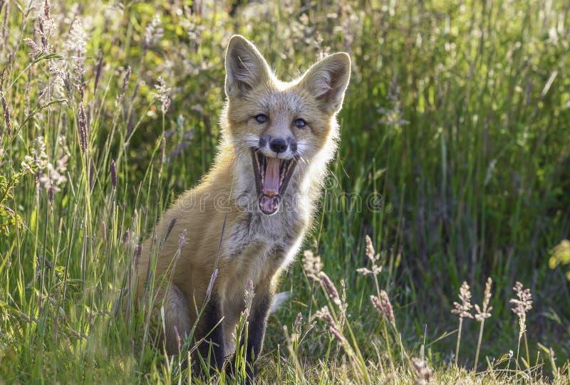 Piccolo Fox felice fotografie stock libere da diritti