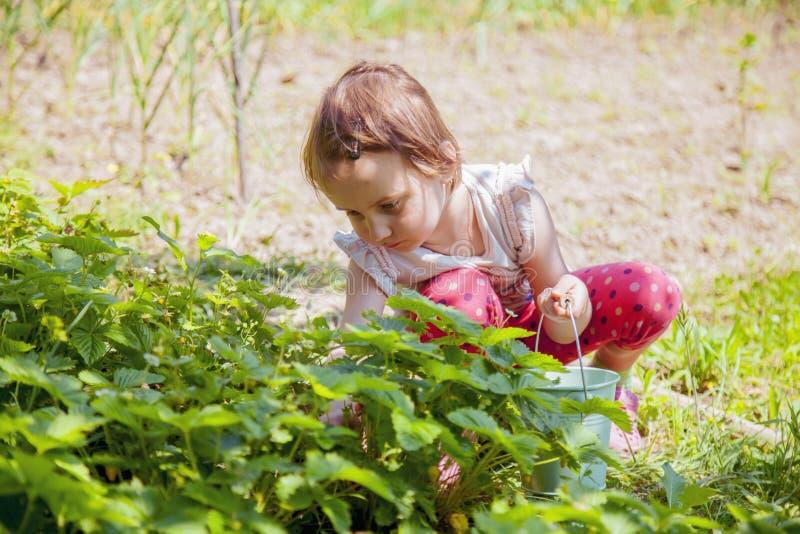 Piccolo fragola sveglia di raccolto della ragazza del bambino sul campo dell'azienda agricola della frutta il giorno di estate so immagini stock