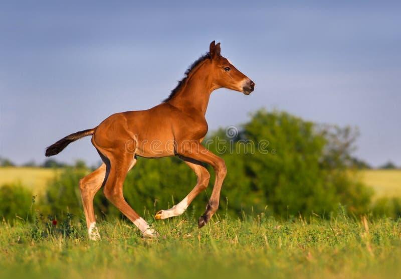 Piccolo funzionamento del cavallo del puledro immagini stock