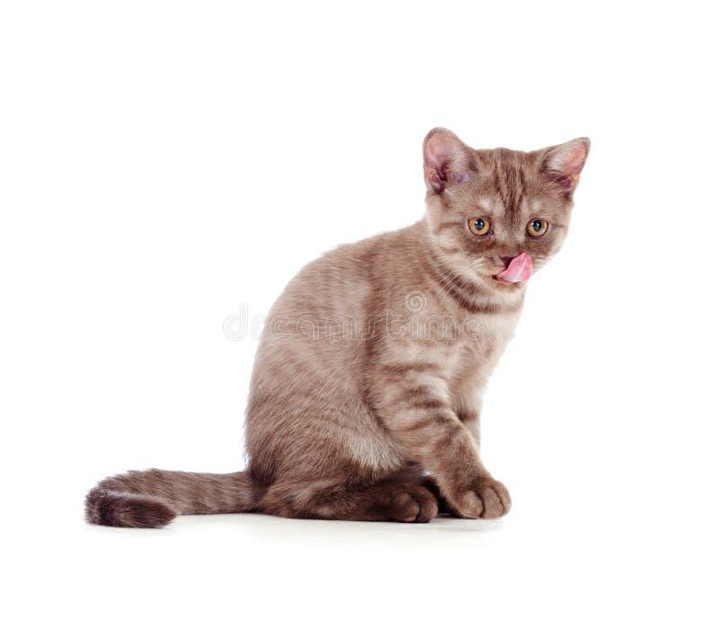 Piccolo gattino britannici a strisce che si leccano immagine stock