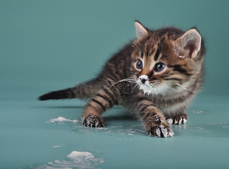 Piccolo gattino con latte acido sopra il fronte e le zampe fotografie stock libere da diritti
