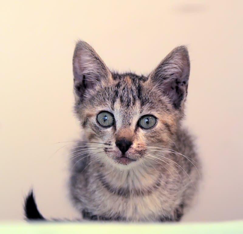 Piccolo gattino con un labbro rotto immagini stock libere da diritti