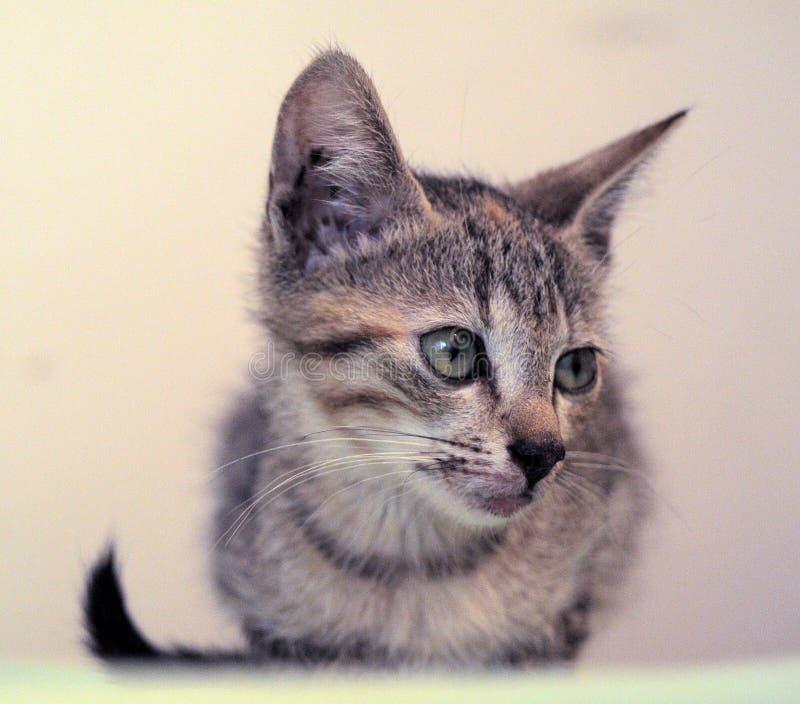 Piccolo gattino con un labbro rotto fotografia stock