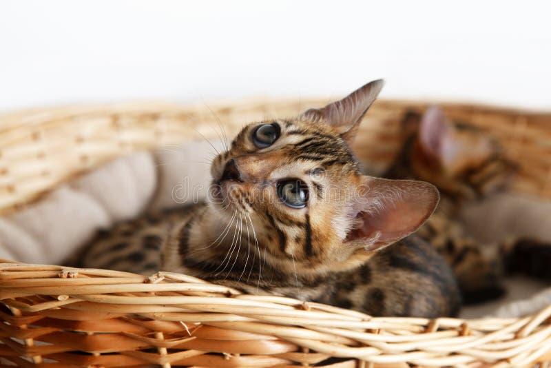 Piccolo gattino del Bengala fotografie stock libere da diritti