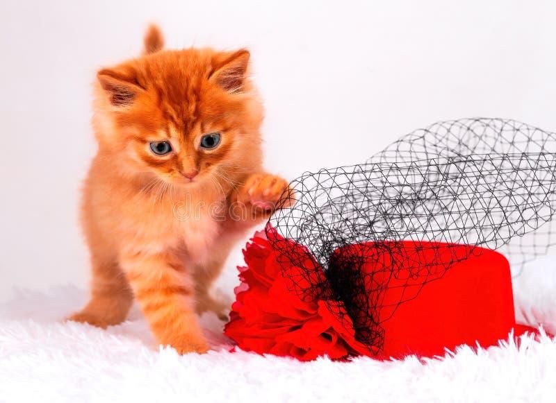Piccolo gattino di Maine Coon, su fondo bianco fotografie stock libere da diritti