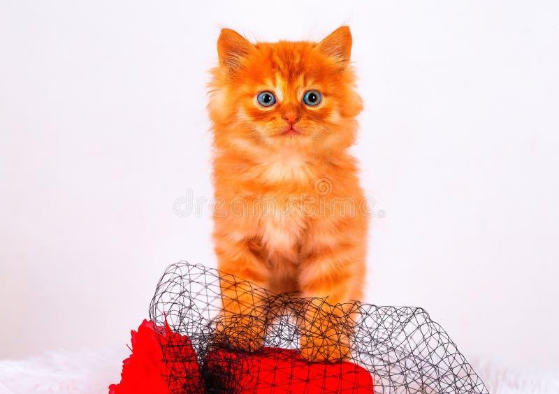 Piccolo gattino di Maine Coon, su fondo bianco immagine stock libera da diritti