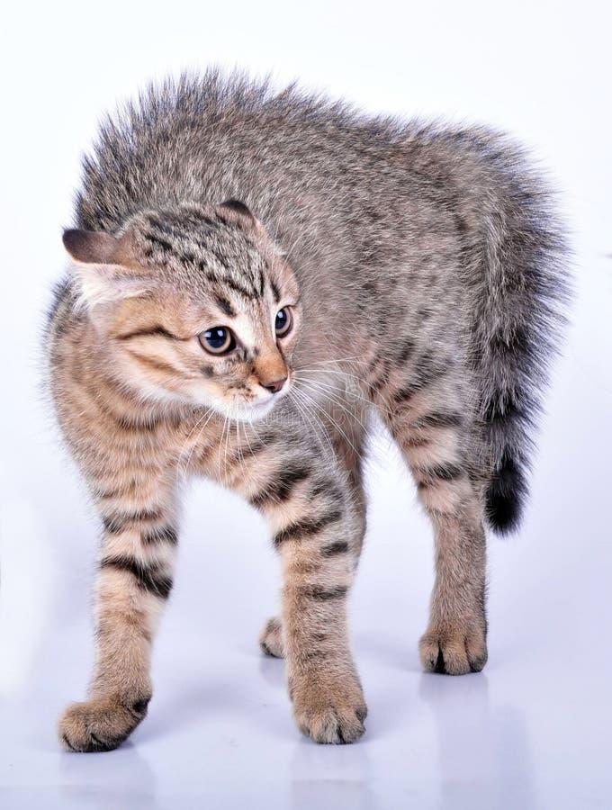 Piccolo gattino diritto scozzese che sembra spaventato immagini stock