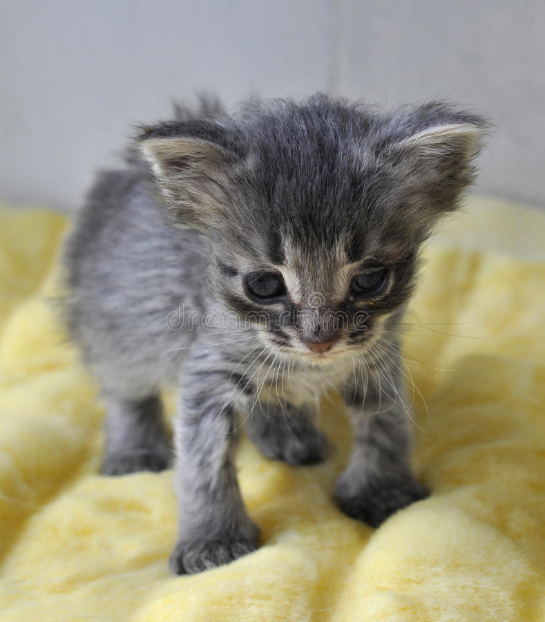 Piccolo gattino grigio appena nato immagine stock libera da diritti