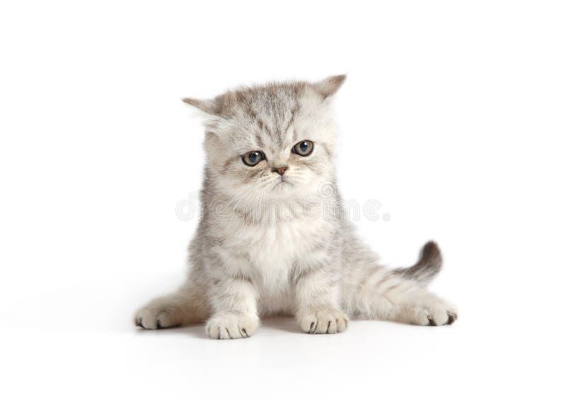 Piccolo gattino grigio-bianco fotografia stock