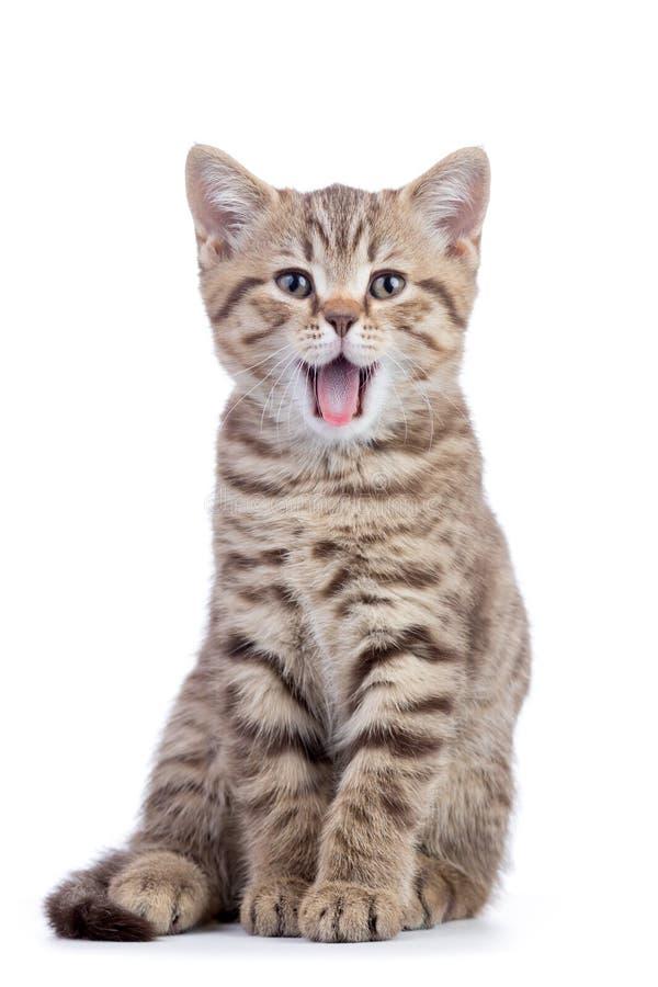 Piccolo gattino grigio del gatto con la bocca aperta isolata su fondo bianco immagine stock