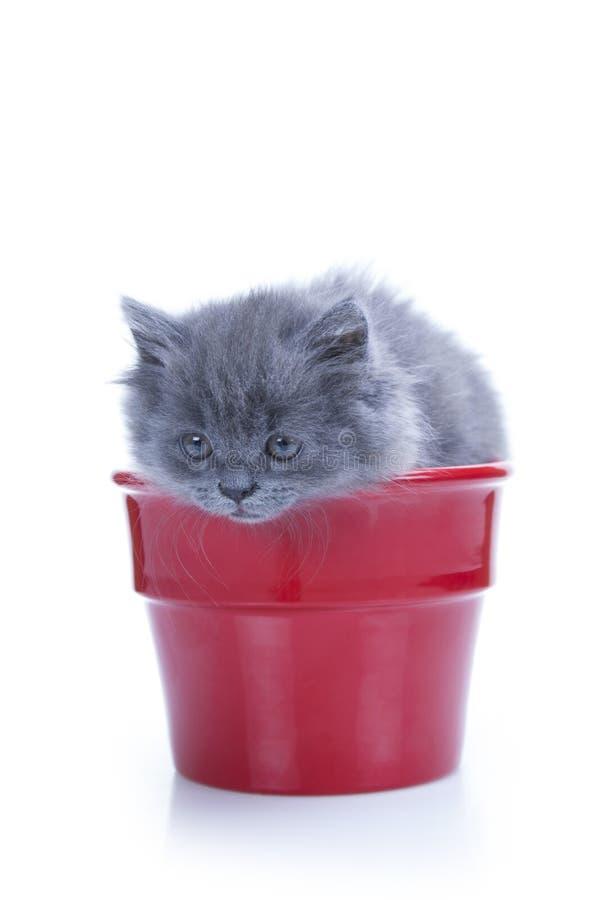 Piccolo gattino grigio in vaso fotografie stock libere da diritti