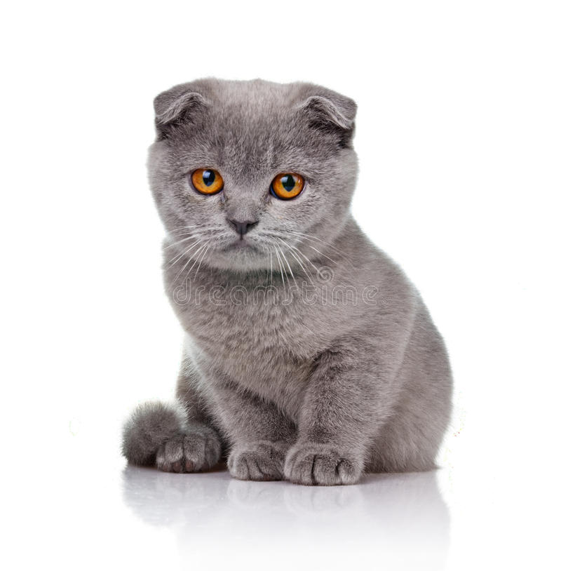 Piccolo gattino lop-eared su bianco immagine stock