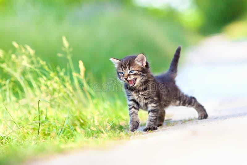 Piccolo gattino miagolante fotografia stock libera da diritti