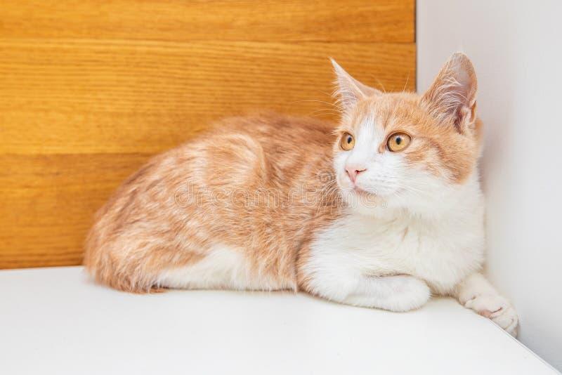 Piccolo gattino rosso divertente isolato su fondo bianco immagini stock libere da diritti