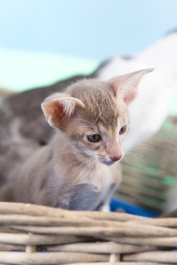 piccolo gattino siamese fotografia stock libera da diritti