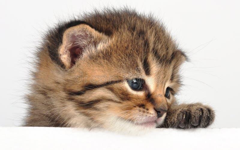 Piccolo gattino triste che sembra sorpreso fotografia stock libera da diritti
