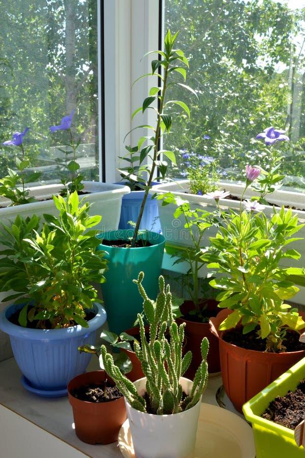 Piccolo giardino botanico urbano sul balcone Molte piante differenti fotografia stock