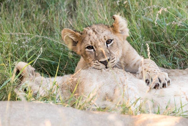 Piccolo gioco dei cuccioli di leone immagini stock