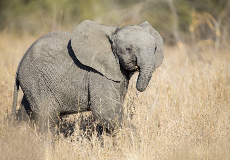 Piccolo gioco del vitello dell'elefante nel lotto avere e dell'erba verde lunga della f fotografia stock libera da diritti