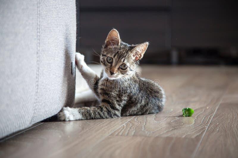 Piccolo gioco grigio del gattino dell'animale domestico dell'interno immagine stock libera da diritti