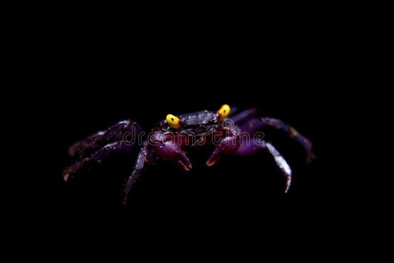 Piccolo granchio porpora del vampiro isolato sul nero fotografia stock
