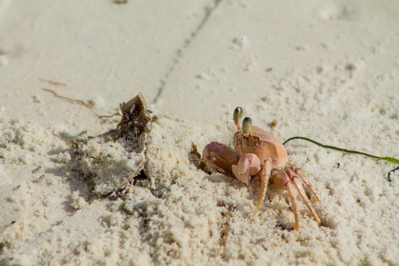 Piccolo granchio sulla spiaggia di sabbia immagine stock libera da diritti