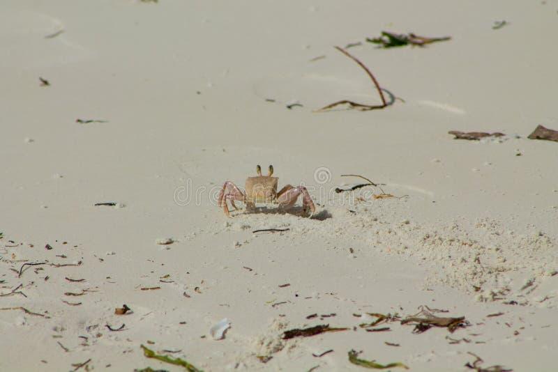 Piccolo granchio sulla spiaggia di sabbia immagini stock libere da diritti