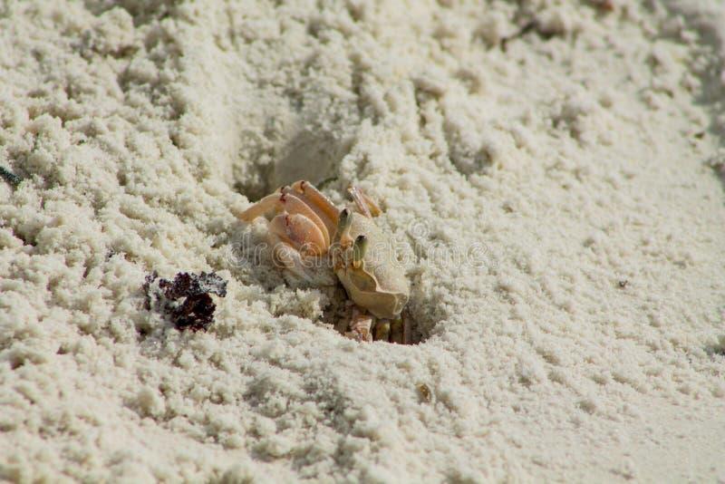 Piccolo granchio sulla spiaggia di sabbia fotografia stock libera da diritti