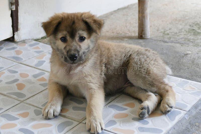 Piccolo Gray Puppy Dog Lying sulla terra immagini stock libere da diritti