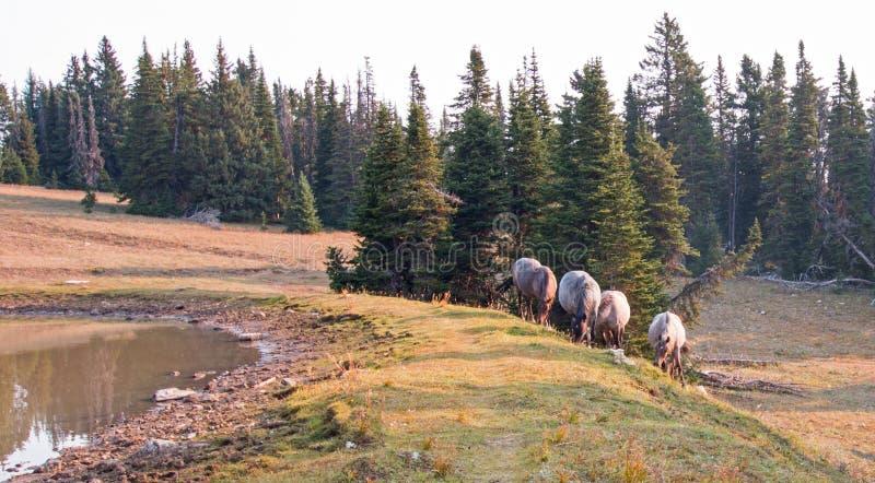 Piccolo gregge dei cavalli selvaggii al bordo erboso di un waterhole di mattina nella gamma del cavallo selvaggio delle montagne  immagini stock