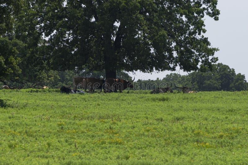 Piccolo gregge del bestiame della mucca texana sotto l'albero immagine stock libera da diritti