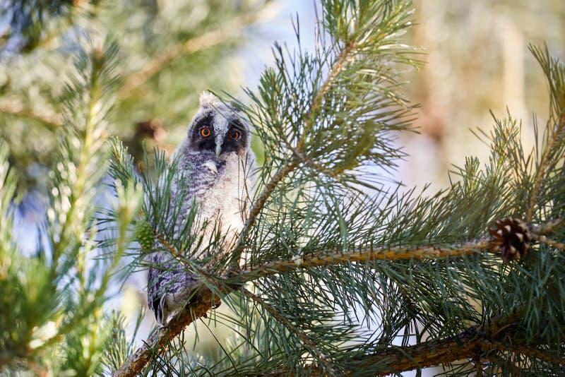 Piccolo gufo del bambino nella foresta immagini stock libere da diritti