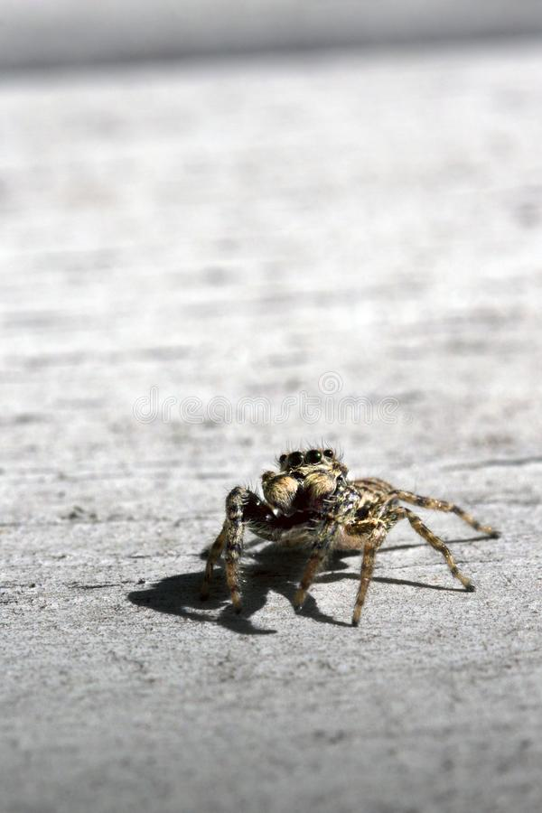 Piccolo hotography marrone del macrop del ragno fotografie stock