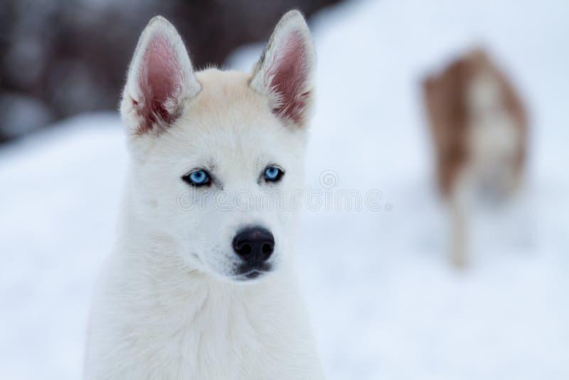 Piccolo husky bianco con gli occhi azzurri fine su fotografia stock immagine 28734612 - Husky con occhi diversi ...