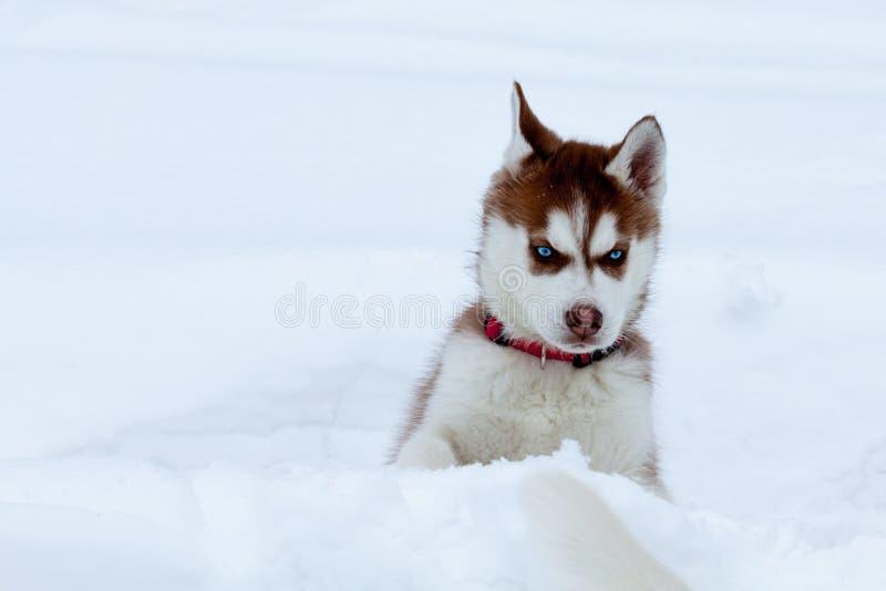 Piccolo husky con gli occhi azzurri nella neve immagine stock immagine di gioco husky 28734583 - Husky con occhi diversi ...
