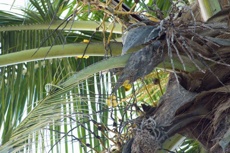 Piccolo incastramento giallo dell'uccello su una palma immagini stock
