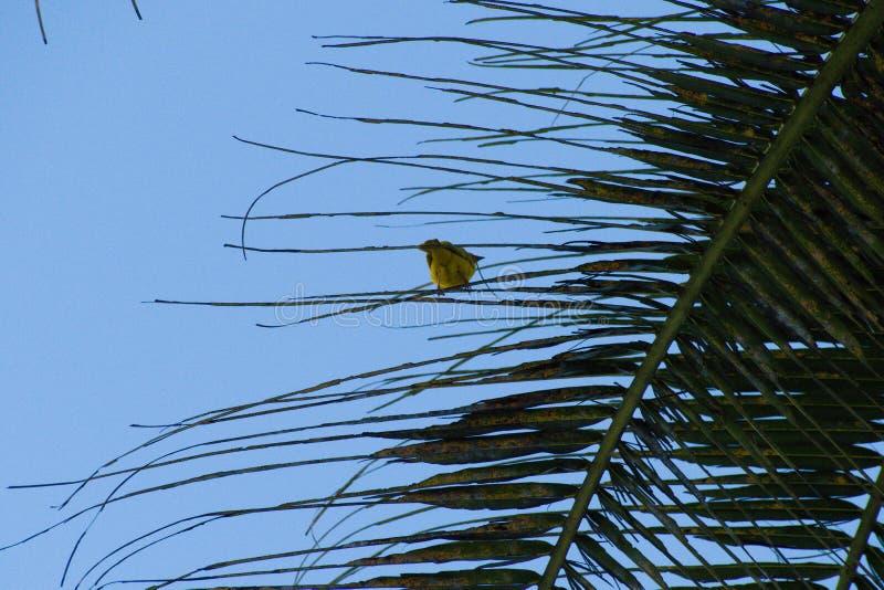 Piccolo incastramento giallo dell'uccello su una palma immagine stock