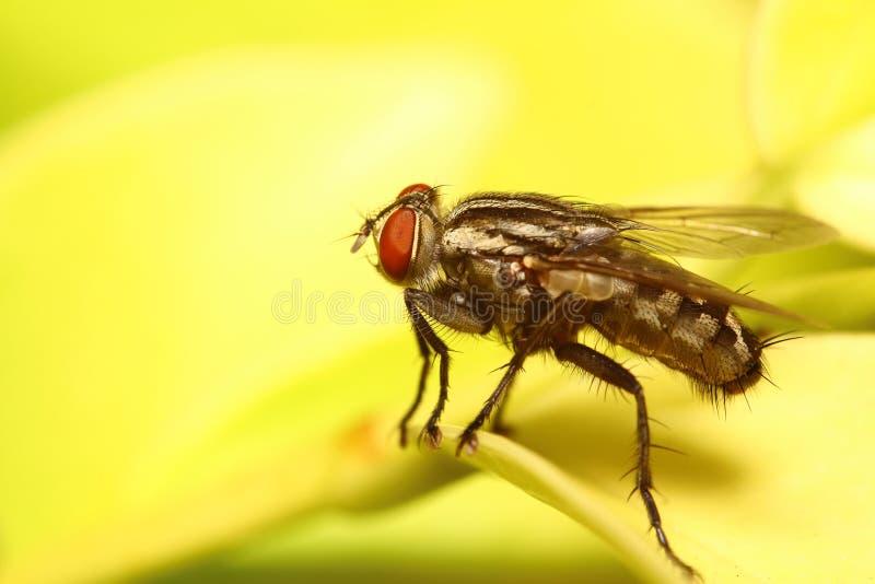 Piccolo insetto della mosca immagine stock libera da diritti