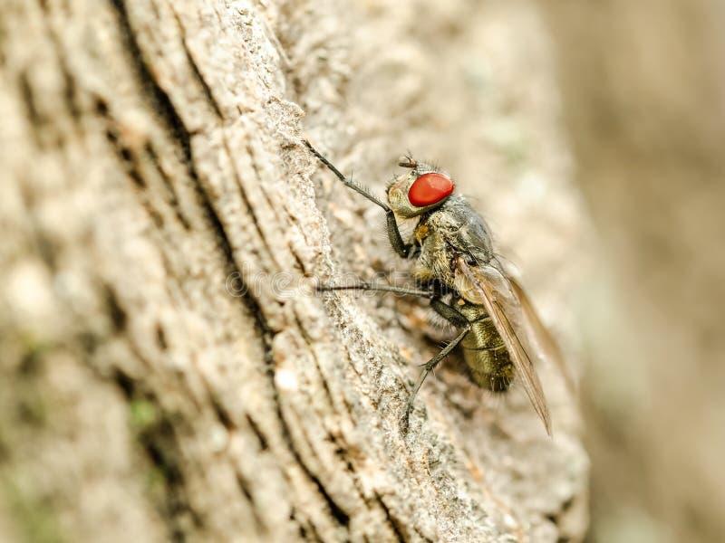 Piccolo insetto della mosca con l'occhi rossi fotografia stock libera da diritti