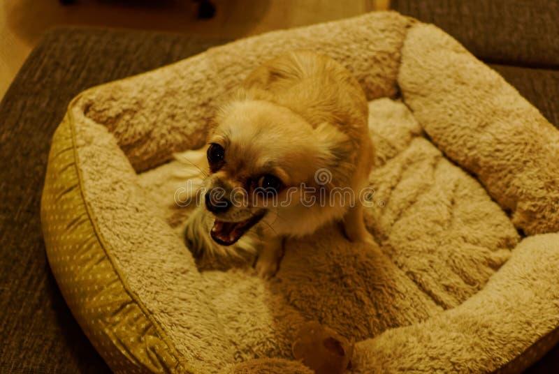 Piccolo interrogante allegro del cane nella sedia fotografie stock libere da diritti