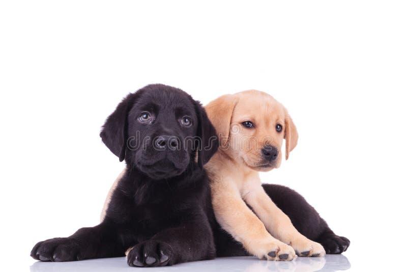 Piccolo labrador retriever giallo che si trova sopra il cucciolo nero fotografie stock libere da diritti