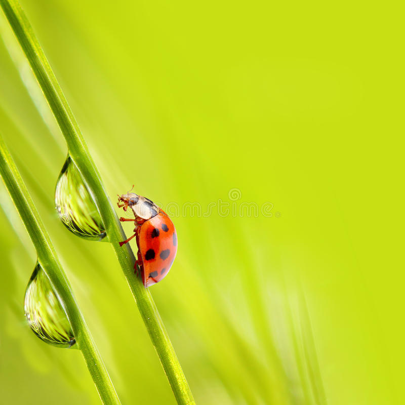 Piccolo ladybug fotografia stock
