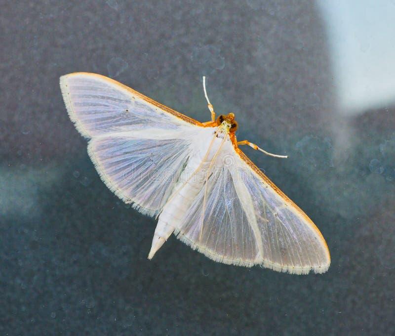 Piccolo lepidottero bianco sulla finestra di vetro fotografia stock libera da diritti