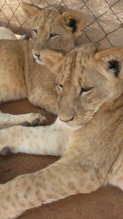 Piccolo Lion Cubs immagini stock