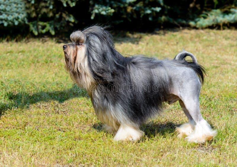 Piccolo Lion Dog nel profilo fotografia stock