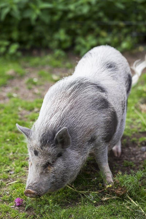Piccolo maiale grigio sveglio nello zoo immagini stock libere da diritti