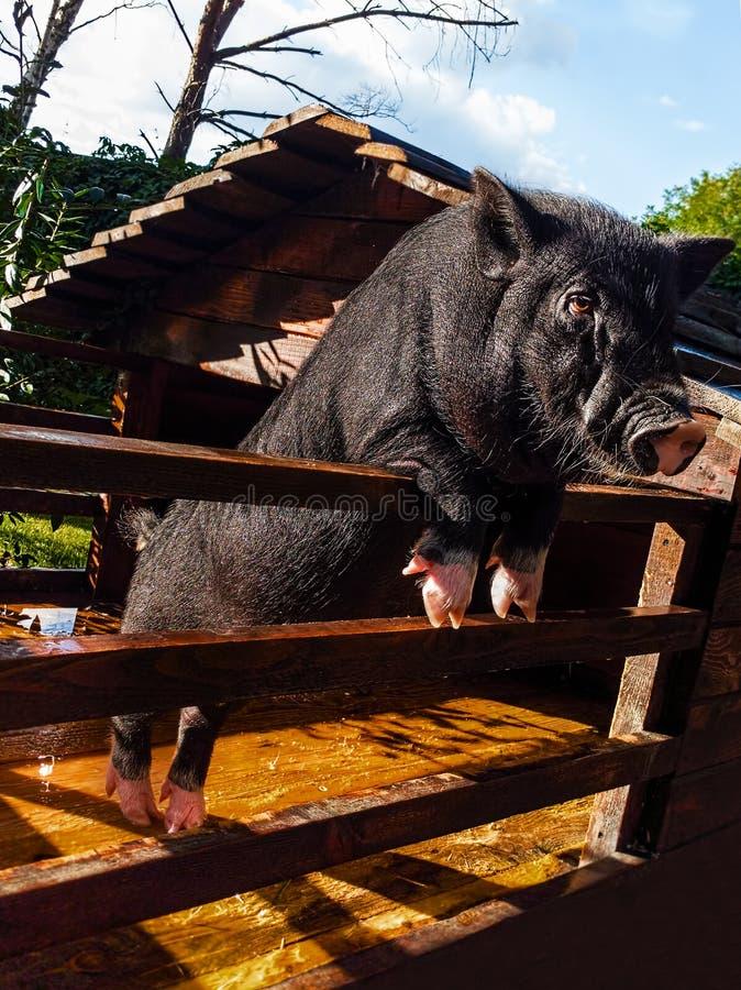 Piccolo maiale nero in una penna di legno decorativa immagini stock libere da diritti