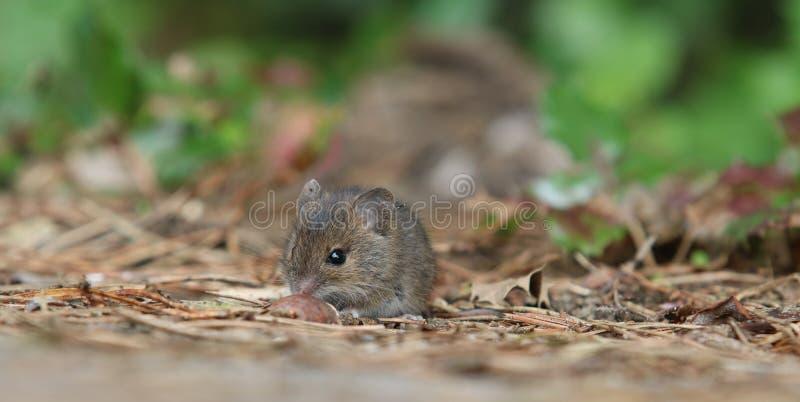 Piccolo mouse fotografia stock