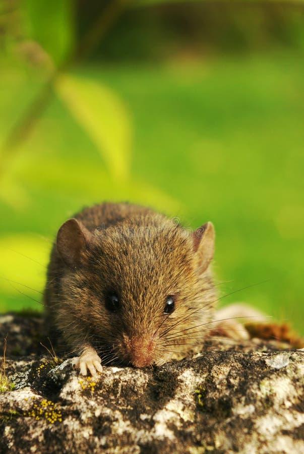 Piccolo mouse sveglio sulla pietra fotografia stock